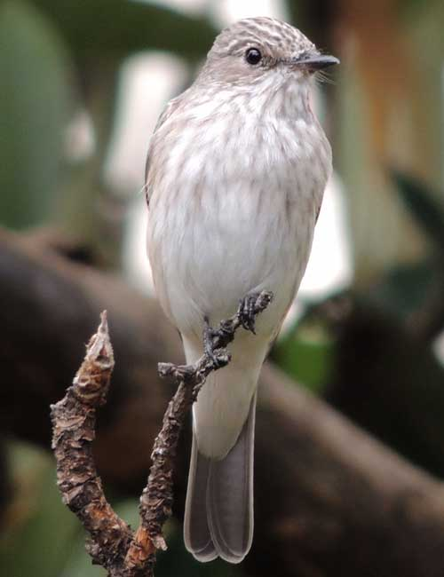 Spotted Flycatcher, Muscicapa striata, photo © by Michael Plagens