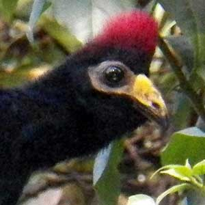 Ross's Turaco, Musophaga rossae, photo © by Michael Plagens.