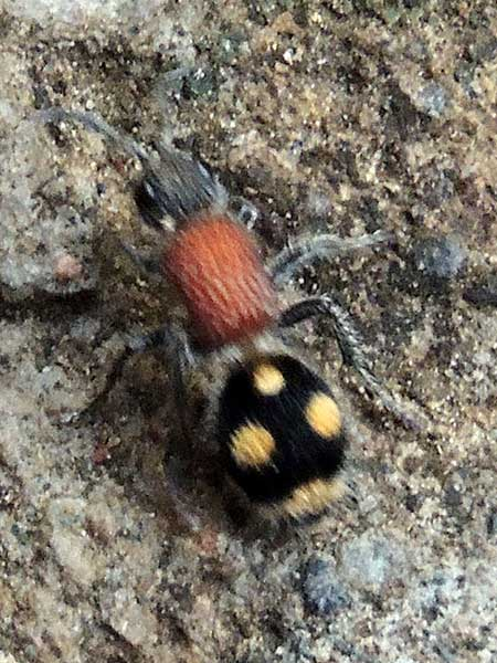 velvet ant, Mutilidae, from Kenya, photo © by Michael Plagens