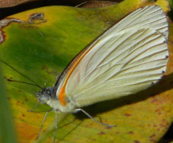 a pierid butterfly from Eldoret, Kenya, Oct. 2010. Photo © by Michael Plagens