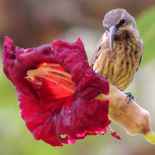 Amethyst Sunbird, Nectarinia amethystina, in Nairobi, photo © by Michael Plagens.