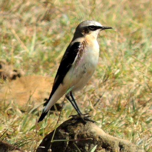 Northern Wheatear, Oenanthe oenanthe, photo © by Michael Plagens