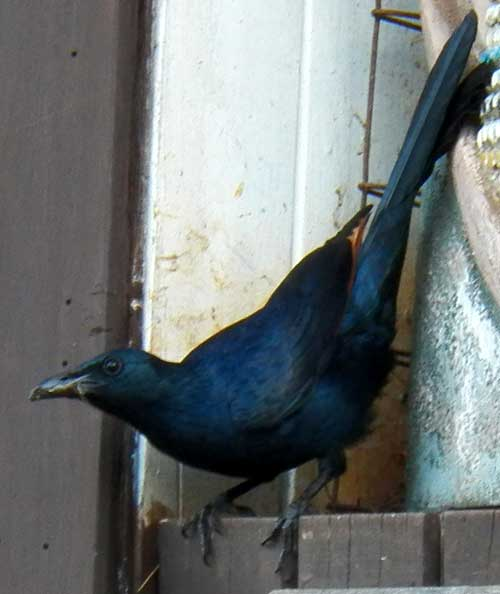 Red-winged Starling, Onychognathus morio, photo © by Michael Plagens