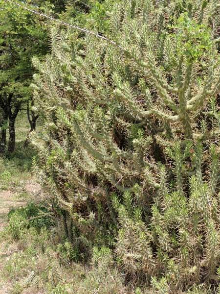 Cholla Cactus, Opuntia exaltata, from Nakuru, Rift Valley, Kenya, photo © by Michael Plagens