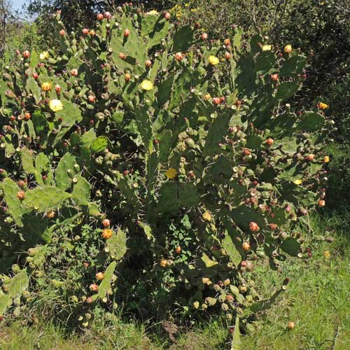 Prickly Pear Cactus, Opuntia, from near Nyeri, Kenya, photo © by Michael Plagens