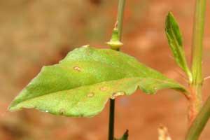 leaf of Oxygonum sinuatum photo © by Michael Plagens