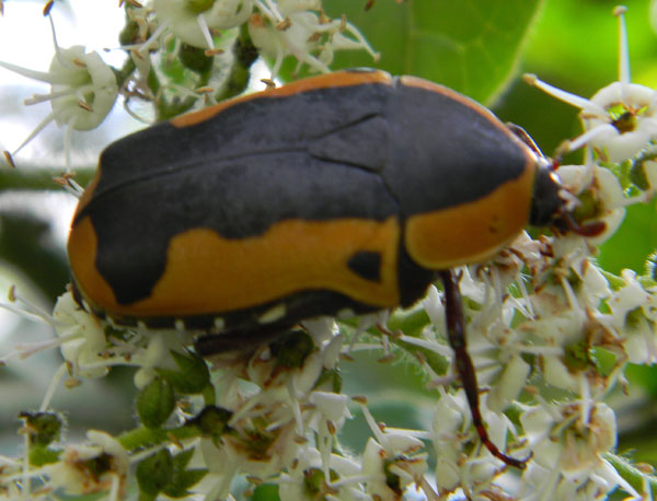 a flower chafer, possibly Pachnoda sinuata, at Nairobi, Kenya. Photo © by Michael Plagens