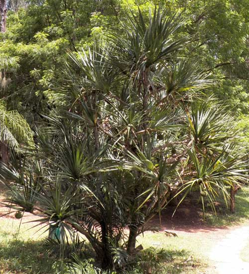 Screw Pine, Pandanus, by Michael Plagens