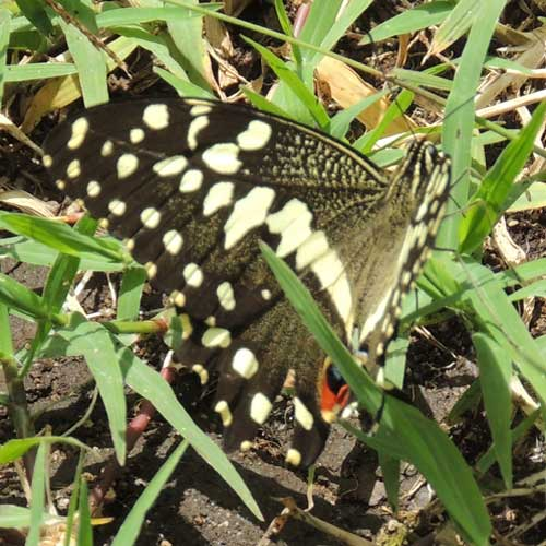 Citrus Swallowtail, Papilio demodocus, South Nandi Forest, Kenya. Photo © by Michael Plagens