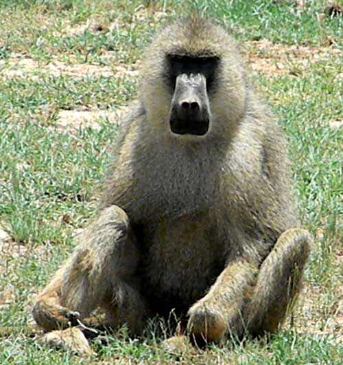 Olive Baboon, Papio anubis, photo © by Michael Plagens