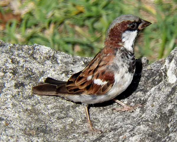 Male House Sparrow, Passer domesticus, photo © by Michael Plagens