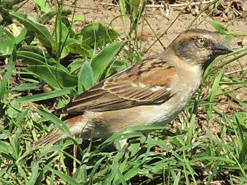 Kenya Rufous Sparrow, Passer rufocinctus, female, photo © by Michael Plagens.