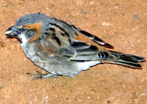 Kenya Rufous Sparrow, Passer rufocinctus, male, photo © by Michael Plagens.