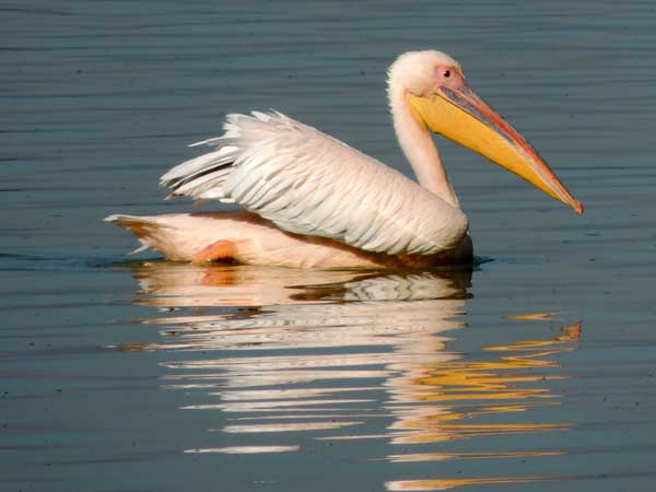 Great White Pelican, Pelecanus onocrotalus, photo © by Michael Plagens