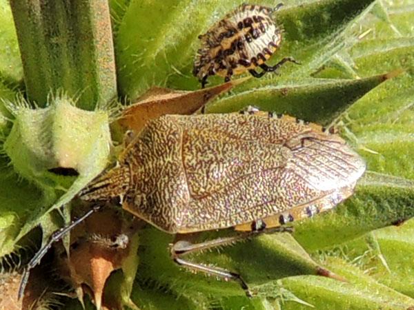 an adult stink bug, possibly Agonoscelis, Eldoret, Kenya. Photo © by Michael Plagens