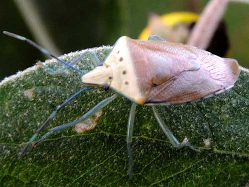a Pentatomidae with blue legs, from Eldoret, Kenya. Photo © by Michael Plagens