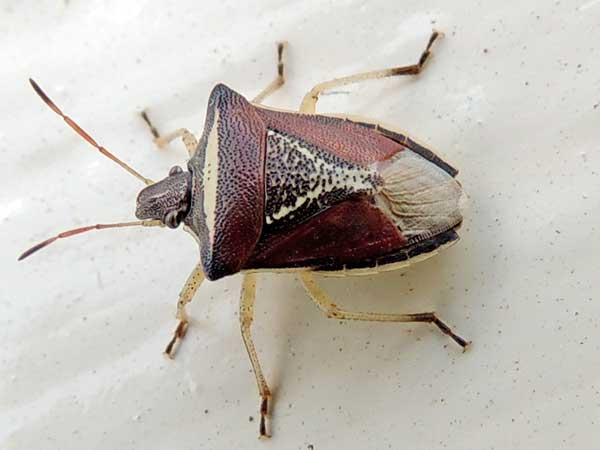 an adult stink bug, Pentatomidae, Kenya. Photo © by Michael Plagens