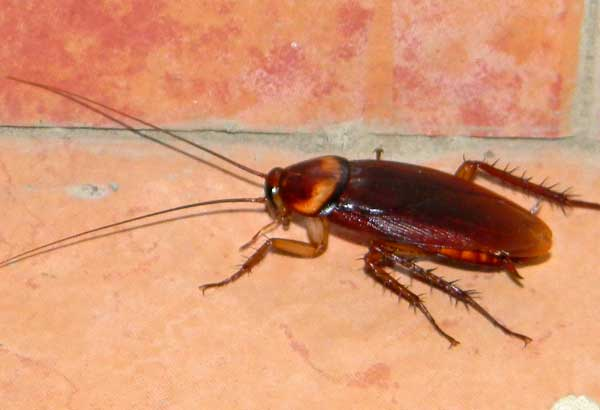 likely an American Cockroach, Periplaneta americana, from Marigat, Kenya, photo © by Michael Plagens
