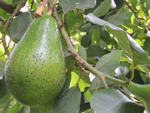 Avocado, Persea americana, photo © by Michael Plagens