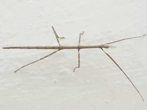 a stick insect from from Eldoret, Kenya. Photo © by Michael Plagens