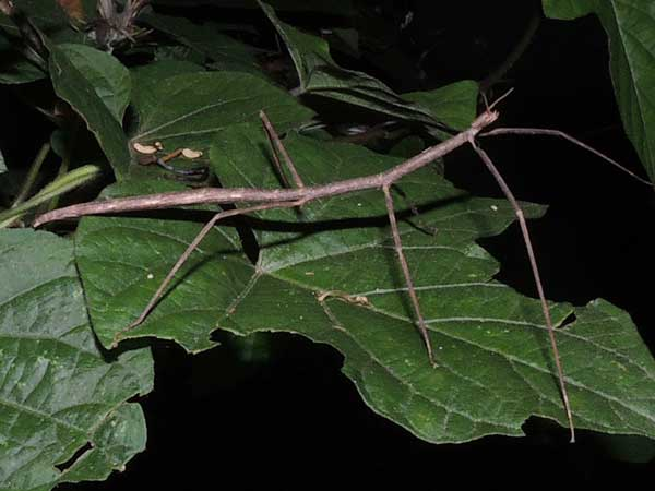 a stick insect from from Kapenguria, Kenya. Photo © by Michael Plagens
