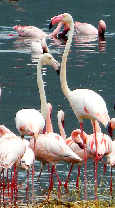 Greater Flamingo, Phoenicopterus roseus, photo © by Michael Plagens.