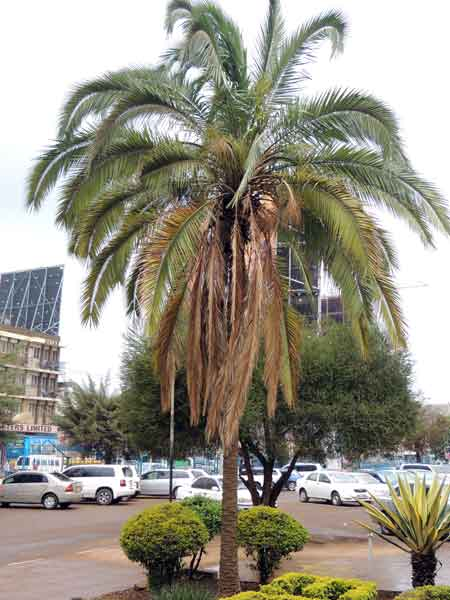 Date Palm, Phoenix dactylifera, Kenya, photo © by Michael Plagens