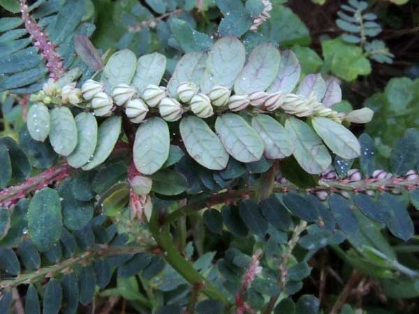 Phyllanthus in Kenya, photo © by Michael Plagens