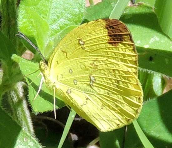 a pierid butterfly from Kitale, Kenya, Dec. 2012. Photo © by Michael Plagens