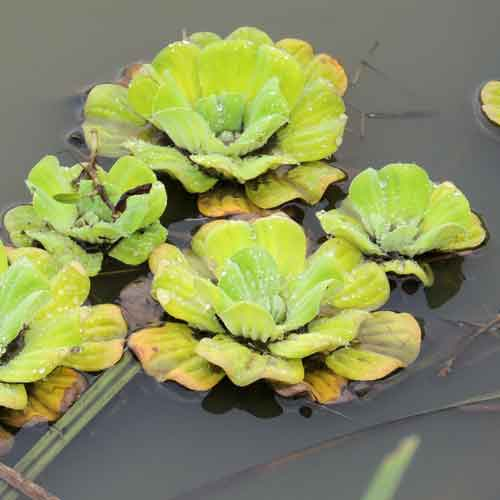 Water Lettuce, Pistia stratiotes by Michael Plagens