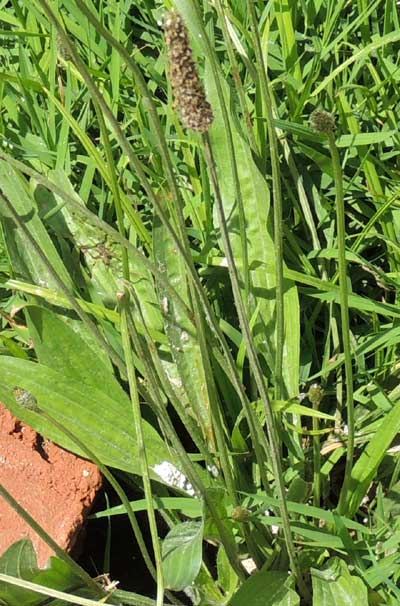 Ribwort Plantain, Plantago lanceolata, Kenya, photo © by Michael Plagens
