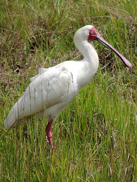 African Spoonbill, Platalea alba, photo © by Michael Plagens