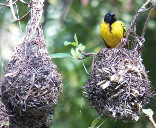 Male Village Weaver, Ploceus cucullatus, photo © by Michael Plagens