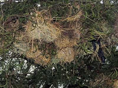 Speke's Weaver nest colony, Ploceus spekei, photo © by Michael Plagens.