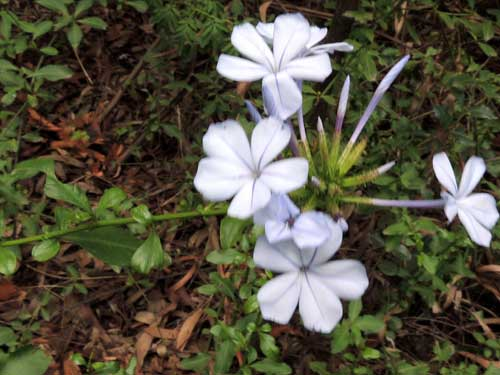 Plumbago auriculata in Kenya, photo © by Michael Plagens