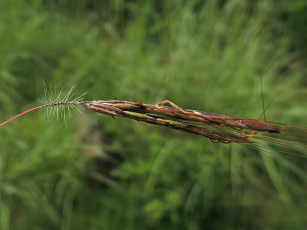 Bromus sp. in Kenya, photo © by Michael Plagens