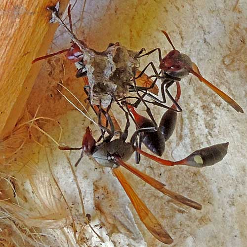 Red-brown paper wasp, Belonogaster, with long waste and two yellow spots, Nyeri, Kenya, photo © by Michael Plagens