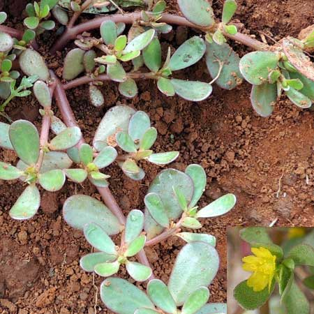 Portulaca oleracea in Kenya, photo © by Michael Plagens