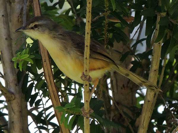 Prinia subflava, Tawny-flanked Prinia, photo © by Michael Plagens.
