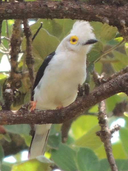 White-crested Helmet-shrike, photo © by Michael Plagens