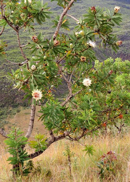 a small Protea tree on rim of Menangai Crater, photo © by Michael Plagens