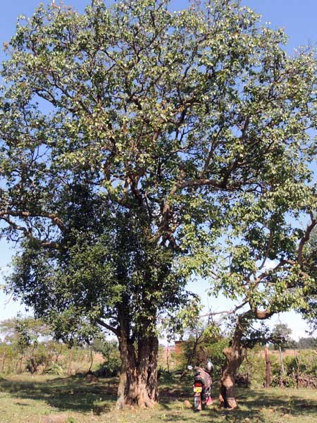 Prunus africana in Kenya photo © by Michael Plagens