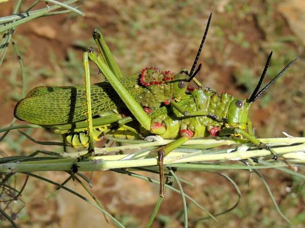 a milkweed grasshopper, Pyrgomorphidae, Kenya, photo © by Michael Plagens
