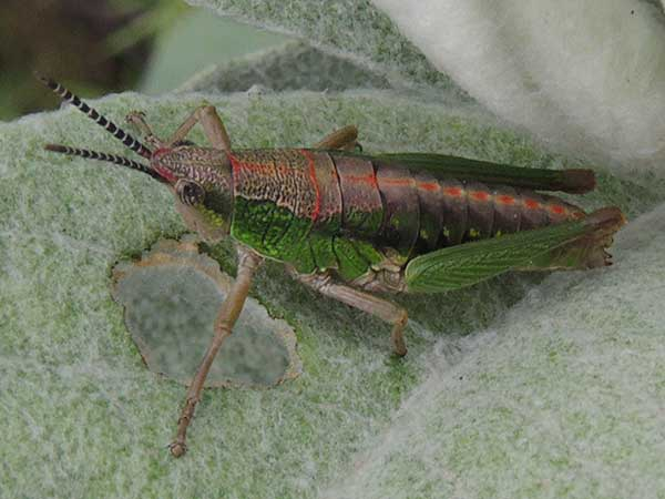 a composite grasshopper, Pyrgomorphidae, Stenoscepa, Kenya, photo © by Michael Plagens
