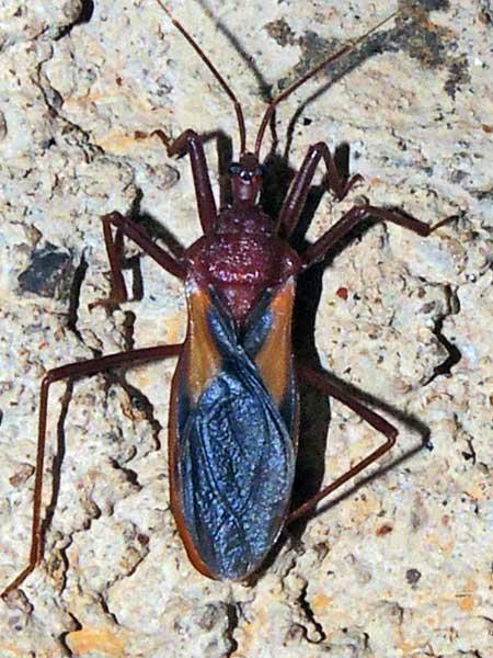 Reduviidae from Kenya. Photo © by Michael Plagens