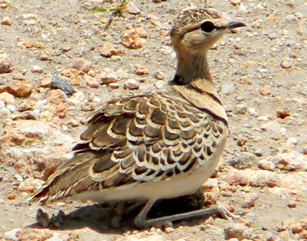 Double-banded Courser, Rhinoptilus africanus, photo © by Michael Plagens.