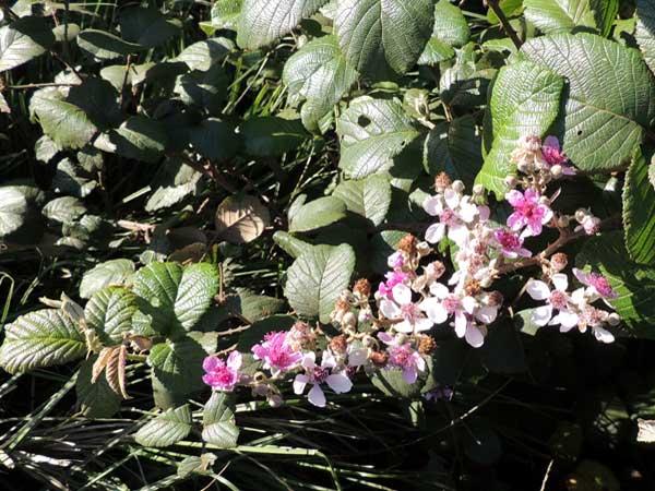 Rubus species in Kenya, photo © by Michael Plagens
