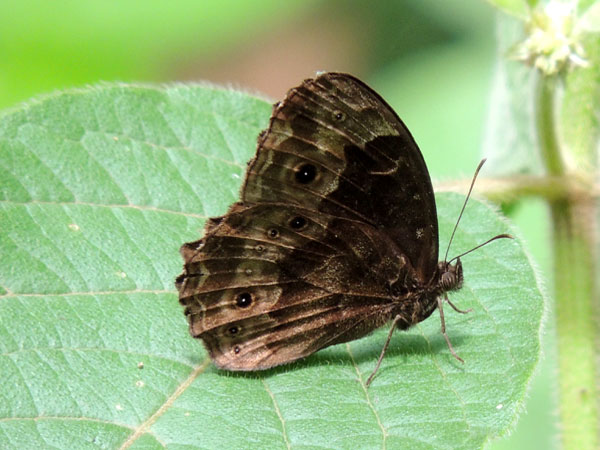 Satyr Butterfly, pssibly Bicyclus, Kitale, Kenya. Photo © by Michael Plagens