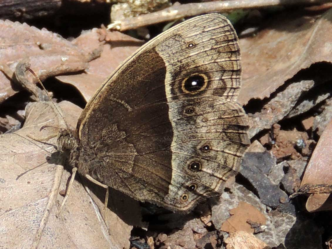 Satyr Butterfly, pssibly Bicyclus, Nairobi, Kenya. Photo © by Michael Plagens