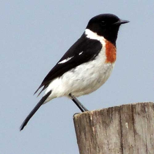 Common Stone Chat, Saxicola torquatus, male, photo © by Michael Plagens